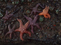 seastars all in a row