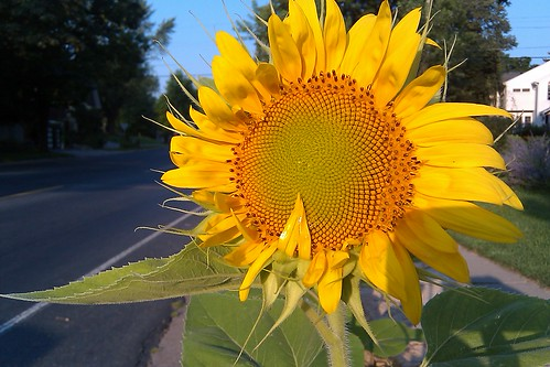 210/365 - Sunflower - 7/29/2010