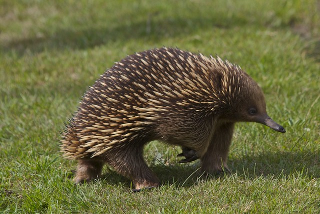 the return of the Echidna
