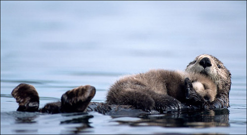 sea otter pup snuggled up on its mother's belly