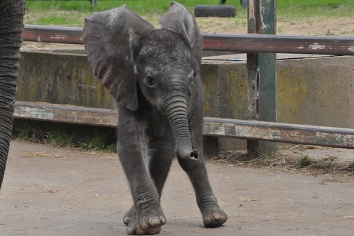 Afrikanischer Elefant Nelly im Howletts Wild Animal Park