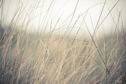 Peace Grass.