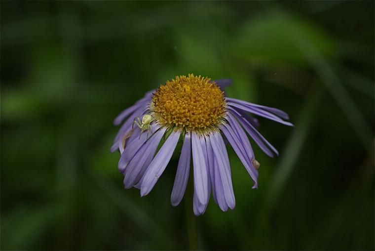 Subalpine Daisy, Erigeron peregrinus