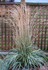 calamagrostis-avalanche