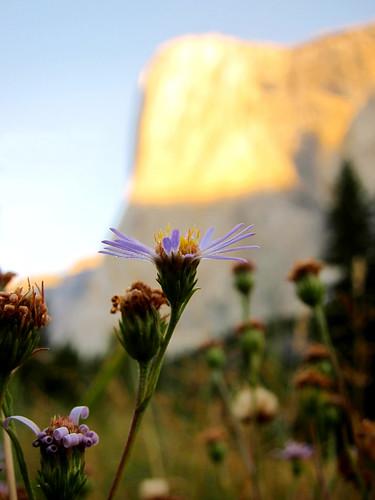 Blue Petals and Dew, El Capitan