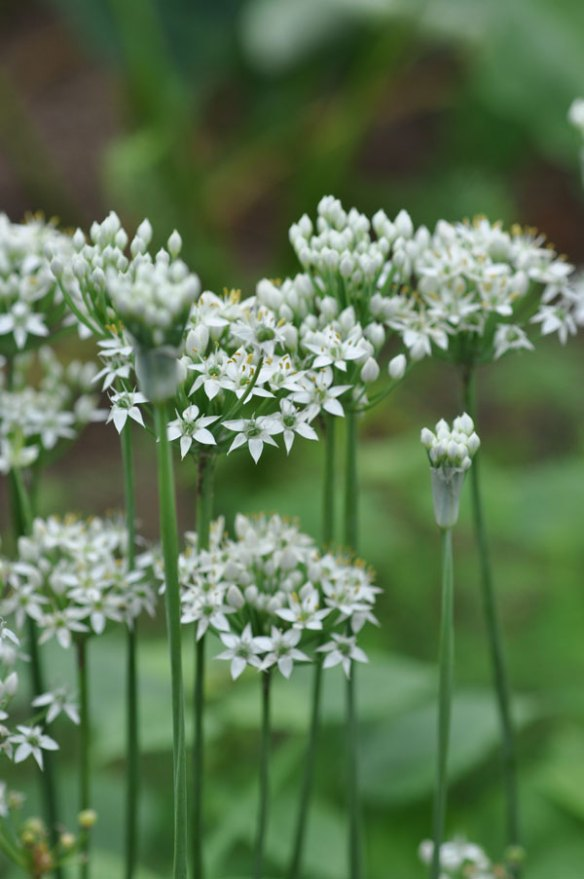 ニラ(韮)の花