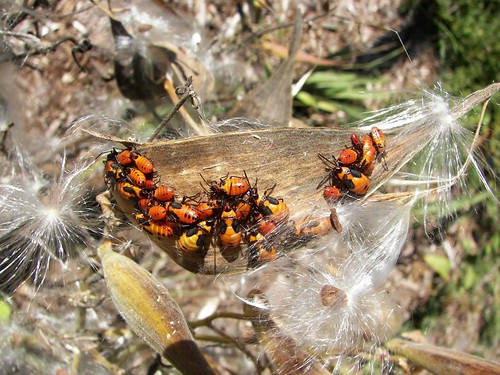 Milkweed pod, and guests