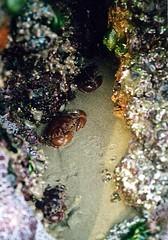 red rock crabs