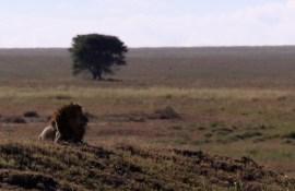Leeuw die uitkijkt over 'oneindige' vlakte