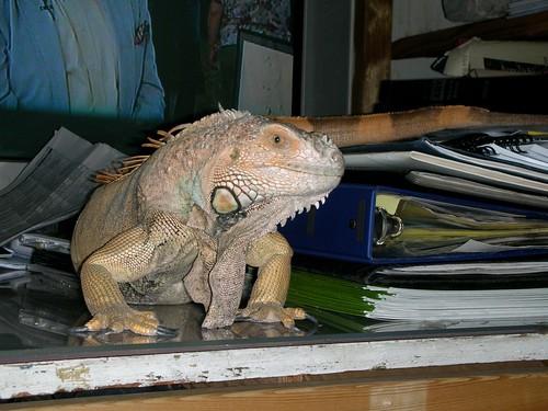 2008 studio Iguana-2