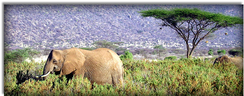 travel trees animals fauna landscape flora holidays kenya elephants acacia tusks naturesfinest safaris