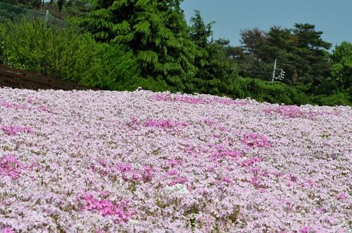 Light Pink blossoms
