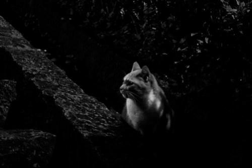 Hidding cat B/W