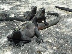 Marine Iguanas, Galapaos Islands