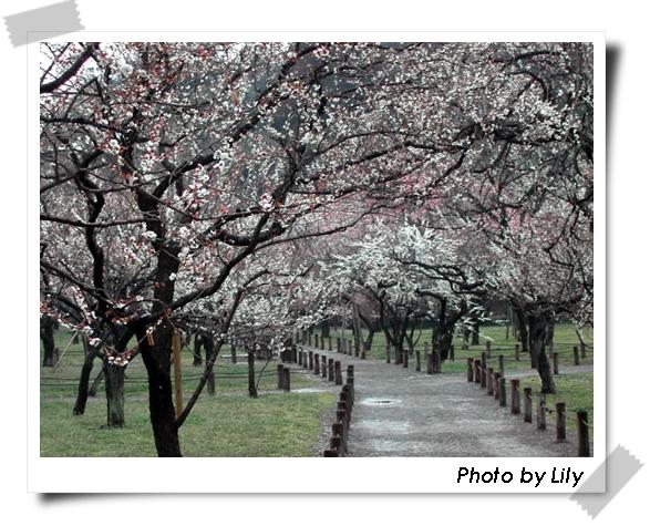 在水戶偕樂園拍的梅花。