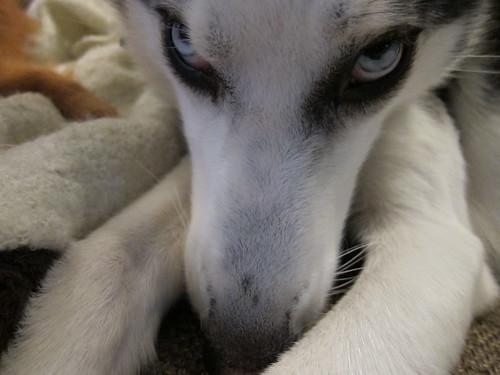 Blue-Eyed Handsome Woof