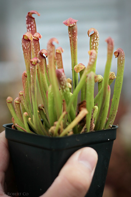 "Sarracenia minor var. okeefenokeensis, x ""Green Monster"""