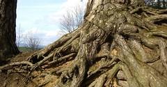 """Die Wurzel. Die Wurzeln. Die Wurzeln eines Baumes. Dieser Baum hat wirklich sehr beeindruckende Wurzeln. • <a style=""""font-size:0.8em;"""" href=""""http://www.flickr.com/photos/42554185@N00/34372629246/"""" target=""""_blank"""">View on Flickr</a>"""