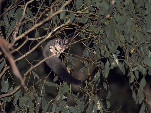 """Squirrel Glider - Euroa district, Vic • <a style=""""font-size:0.8em;"""" href=""""http://www.flickr.com/photos/95790921@N07/33659767874/"""" target=""""_blank"""">View on Flickr</a>"""