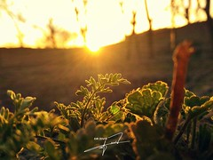 Sunshine #sunshine #plant