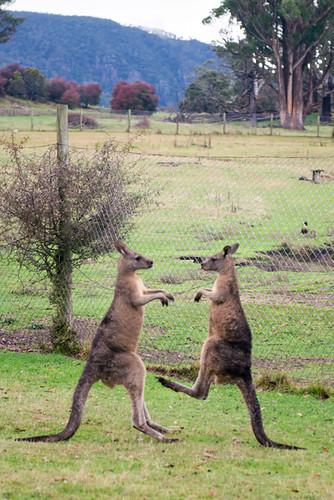 Tasmanie - Mole Creeks