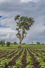 Tree in a farm