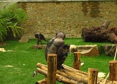 350 - 2017 07 01 - Chimpanseeverblijf