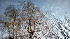IMG_20150308_180601639-trees-white-bark-sky