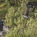 Fiskgjuse - Osprey