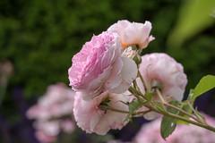 Berlin, IGA 2017: Rosa Rose im Englischen Garten - Pink rose in the English Garden