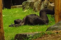 357 - 2017 07 01 - Gorilla (Mambele)