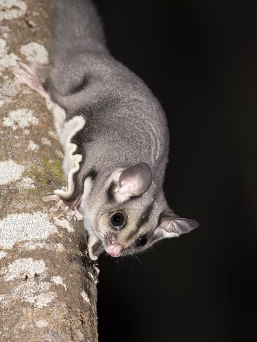 """Sugar Glider - Bunyip SP, Vic • <a style=""""font-size:0.8em;"""" href=""""http://www.flickr.com/photos/95790921@N07/35008927656/"""" target=""""_blank"""">View on Flickr</a>"""