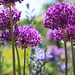 Depth of field - Allium