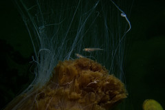 """Lion's Mane Jellyfish (Cyanea capillata) • <a style=""""font-size:0.8em;"""" href=""""http://www.flickr.com/photos/51511072@N04/34877290183/"""" target=""""_blank"""">View on Flickr</a>"""