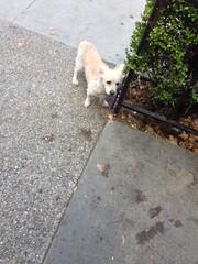 Dog outside Starbucks