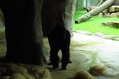 368 - 2017 07 01 - Gorilla (Matadi) in de grot