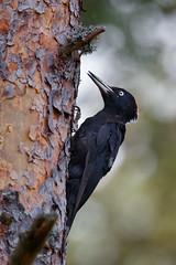 Black Woodpecker | spillkråka | Dryocopus martius