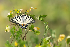 Flambé - Scarce swallowtail