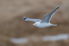 European Herring Gull | gråtrut | Larus argentatus