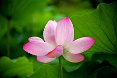 Ancient Lotus Flower
