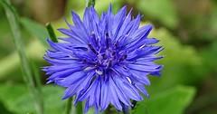 """Die Kornblume. Die Kornblumen. Die Blüte einer Kornblume. Sie wachsen hauptsächlich auf Getreidefeldern (Kornfeldern), daher der Name. • <a style=""""font-size:0.8em;"""" href=""""http://www.flickr.com/photos/42554185@N00/35325841154/"""" target=""""_blank"""">View on Flickr</a>"""