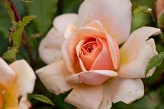 Berlin, IGA 2017: Zartrosa Rose - Pale pink rose