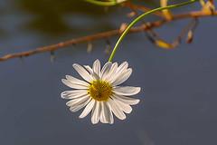 DSC_0020 - Summer daisy