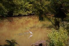Egret at Pond - Kennedy Park - Sayreville NJ