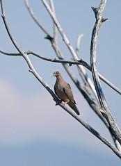 Mourning Dove JHK05600