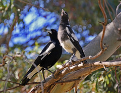 Parent and junior - Australian Magpie, Cracticus tibicen tibicen