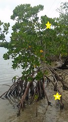 Mangroves Figure 3