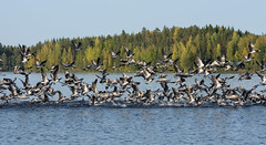 Flock of Barnacle Goose during autumn migration
