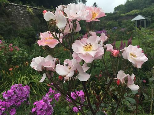 Hartland Abbey Gardens rose