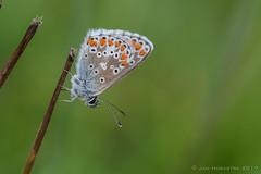 Icarus blauwtje (Polyommatus icarus))